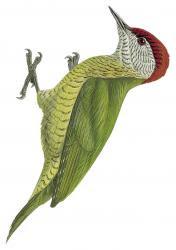 Camethera taeniolaema