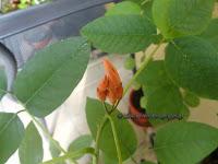 Μπουμπούκια σε σπορόφυτο Erythrina crista galli