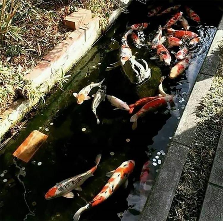 fish in japanese, japanese koi fish, koi fishes pictures, koi japanese, koi fish pic, koi japan, fish koi, koi in japan, koi in japanese, fish in japan, swimming koi, koi swimming, drain canal, drain fish,