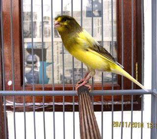 Tips dan Trik Menjaga Kesehatan Fisik Burung Kenari - Solusi Merawat Kesehatan Burung Kenari