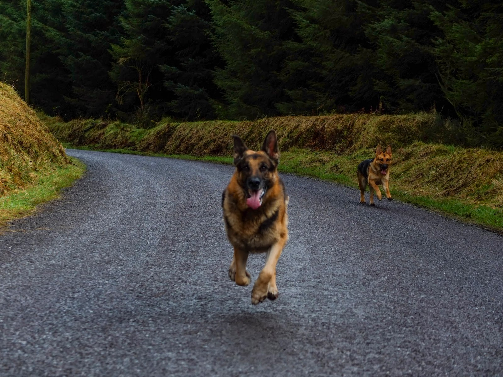 German Shepherds running on a country road.