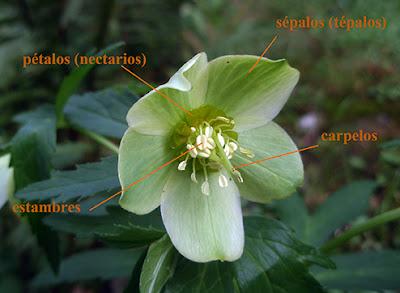 Partes de la flor de Helleborus viridis