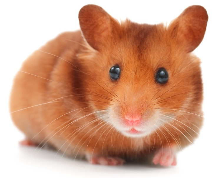 Hamsters Multiply Very Fast And Breeding Should Be Left To Experienced Hamster Parents Also Hamsters Of Different Species Should Never Be Housed Together