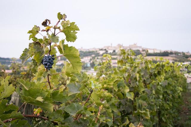Vigna-Azienda vinicola Fontezoppa