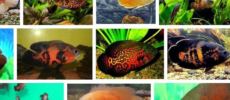 Ini Dia Makanan Ikan Oscar untuk Mempercepat Pertumbuhan