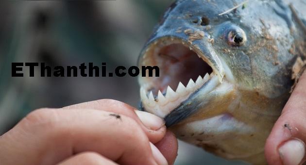 அமேசானில் மனிதனை கொல்லும் மீன்கள்   Fish that kill man in Amazon !