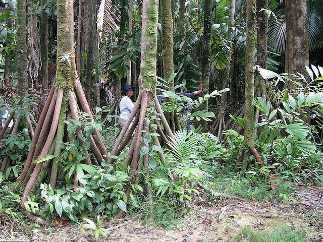 الأشجار التي تمشي ! Socratea-exorrhiza-walking-palms-6