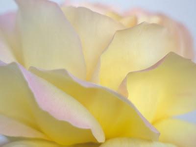 petalos-de-una-rosa-de-color amarillo-claro