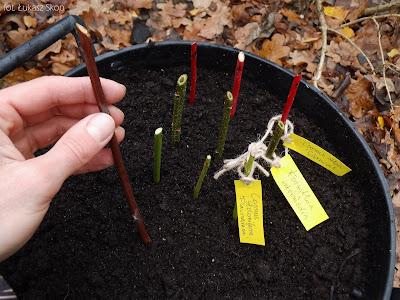 sadzenie sadzonek krzewów w donicy