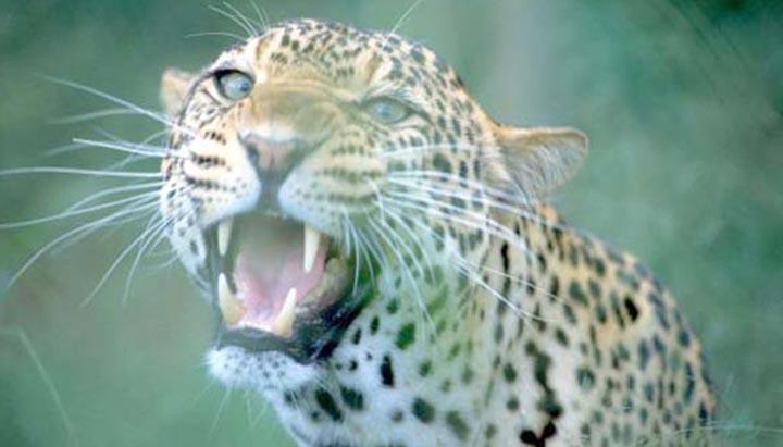 leopard%2Btendua%2Bin%2Bamroha