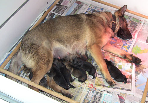Ruby the German Shepherd laying with eyes closed as all but one of her seven pups feed