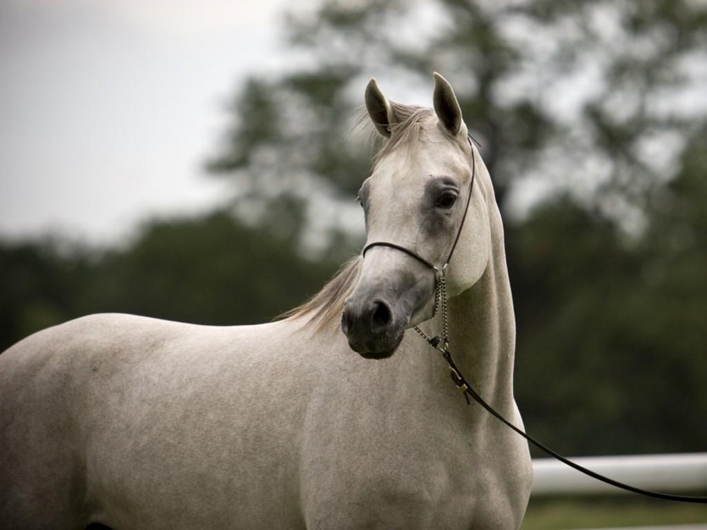 Arabian Horse Images HD Animals Wall...