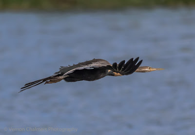 African Darter in Flight : Table Bay Nature Reserve, Woodbridge Island / Cape Town Frame 2/4