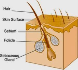Folikel rambut