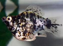 Ikan Hias Kecil Jenis Balon