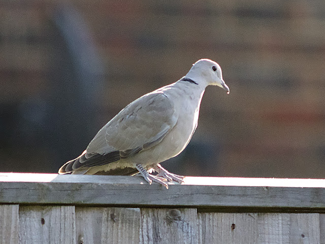 Collared Dove, Streptopelia decaocto, on my back fence in Crowborough.  15 June 2017.