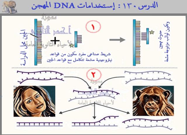 أحياء الثالث الثانوى - إستخدامات DNA المهجن