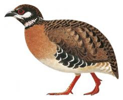 Tan breasted Partridge