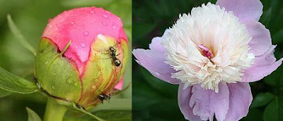 Ants and peonies Relationship - How to get ants out?