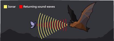 Kelelawar memantulkan suara ke arah depan, kemudian terjadi pantulan kembali ke arah kelelawar. Pantulan tersebut membuat kelelawar dapat mengetahui benda apa yang ada di depannya