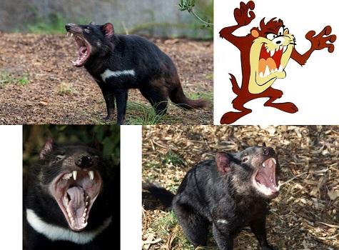 Tazmanya (Tasmanya) Canavarı Nasıl Bir Hayvan? Gerçek Mi?
