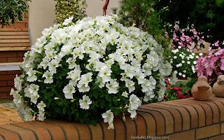 http://fotobabij.blogspot.com/2015/03/petunia-ogrodowa-picobella-white.html