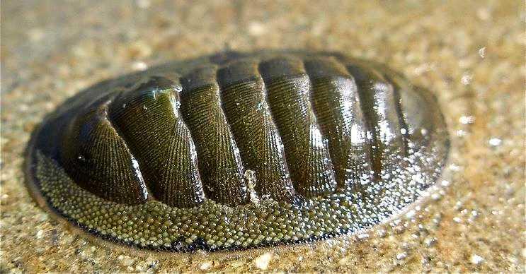 Kiton, kaplumbağa kabuğunu andıran oldukça sert bir dış kabuğa sahiptir.