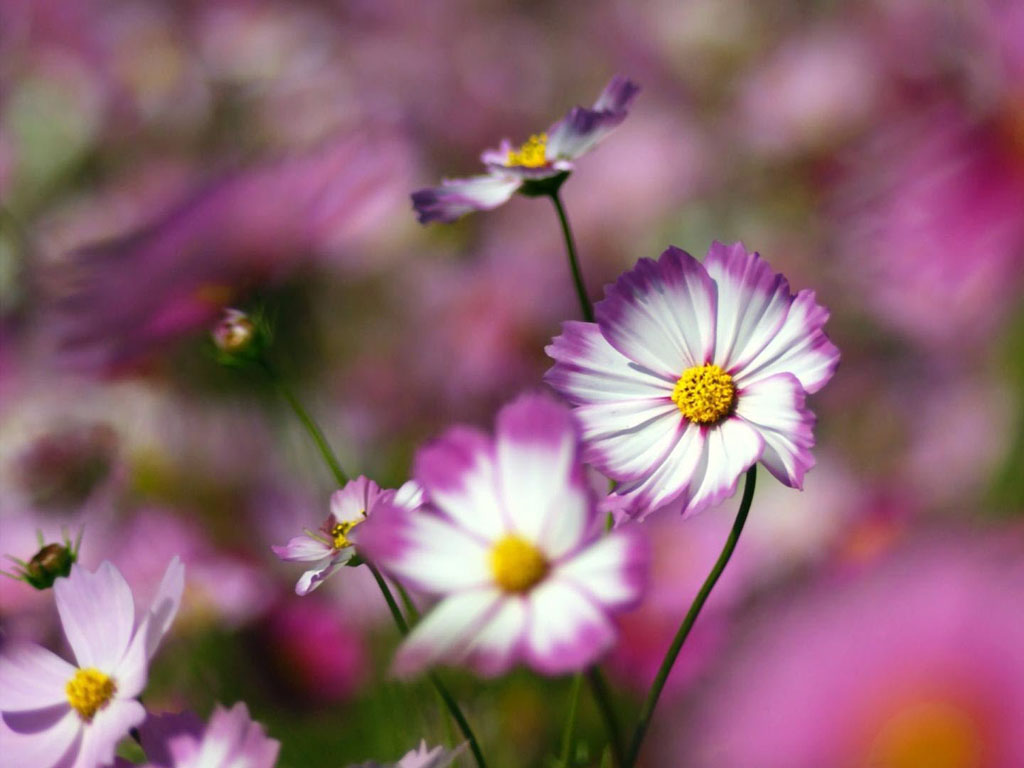 Wallpapers: Flowers Wallpapers Free