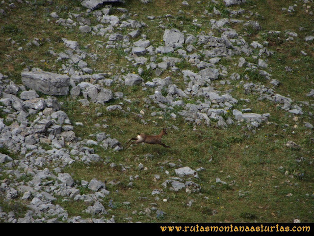 Ruta Ventaniella, Ten y Pileñes: Rebeco en la zona de Pileñes
