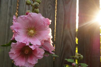 https://pixabay.com/pl/malwa-kwiaty-ro%C5%9Blina-p%C5%82ot-1322676/