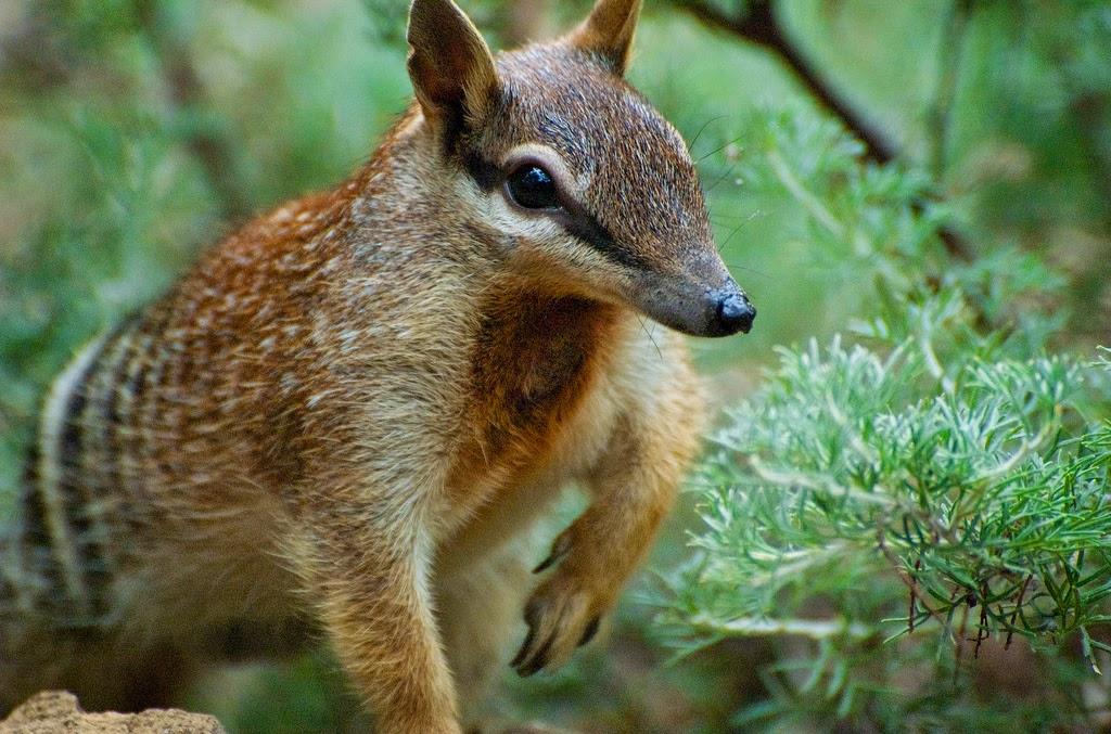 Australian Numbat