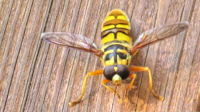 Virginia Flower Fly or Yellow Jacket Hover Fly