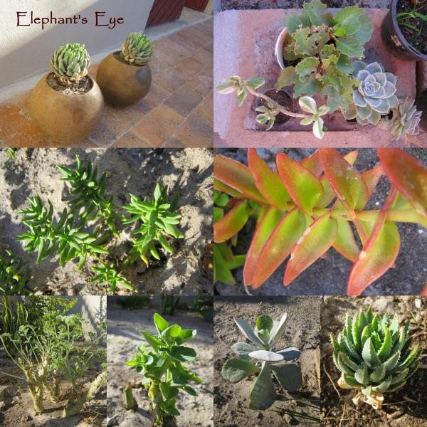Haworthia and friends Crassula pelargonium, ??, Cotyledon orbiculata, Haworthia