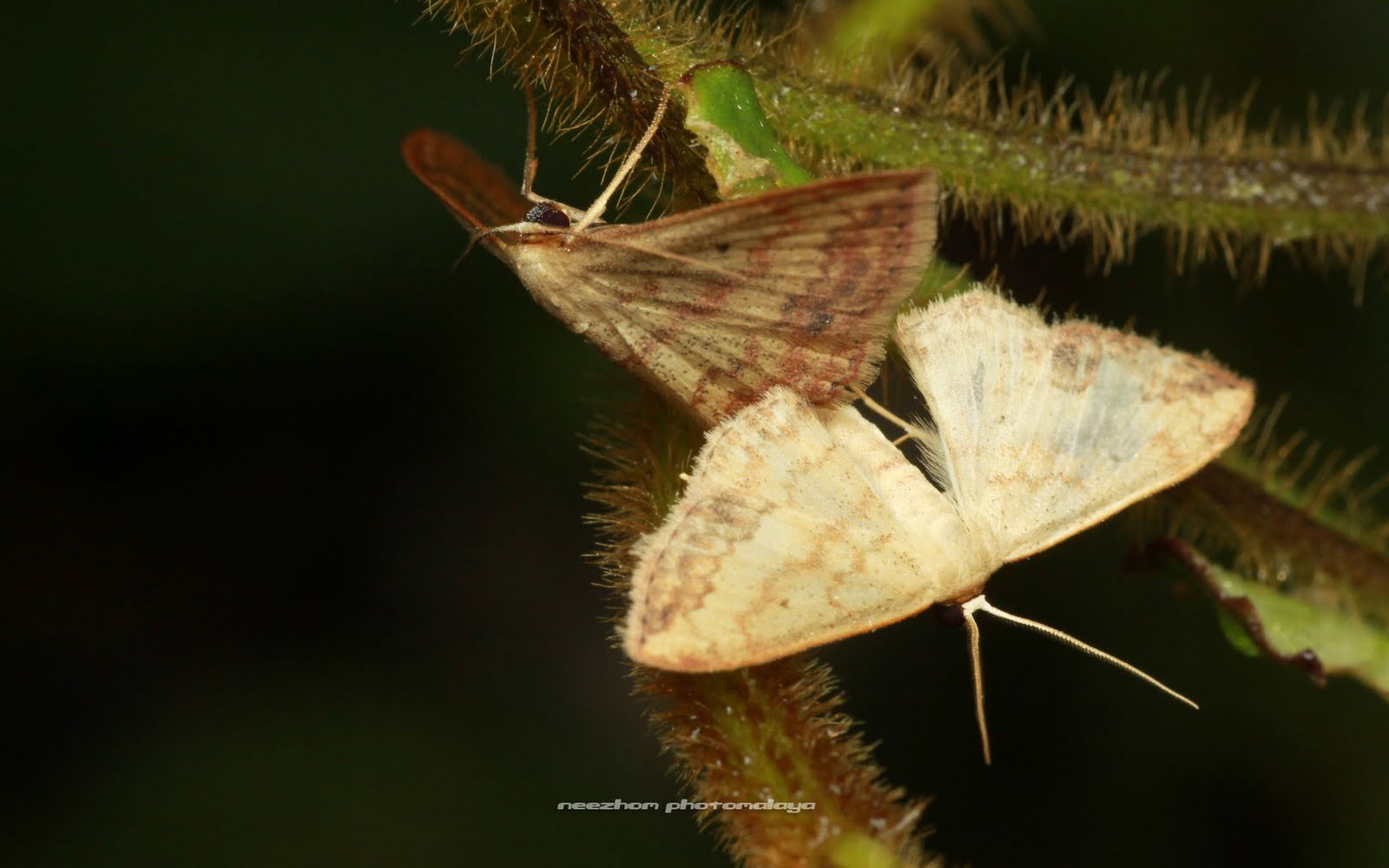 Moth mating - make love
