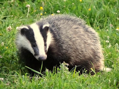 Badger - Animals Starting With B