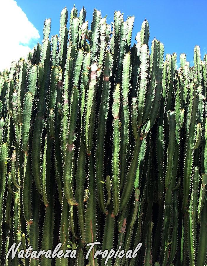 El Árbol africano de Leche, Euphorbia trigona