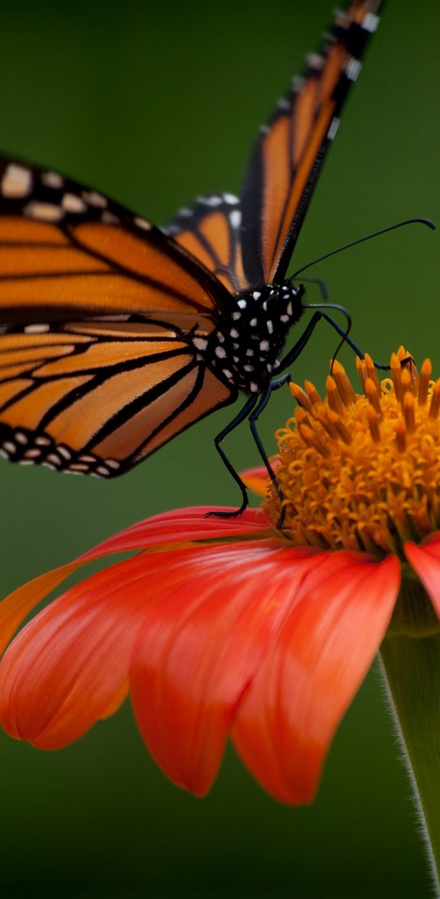 A monarch butterfly on a red flower.