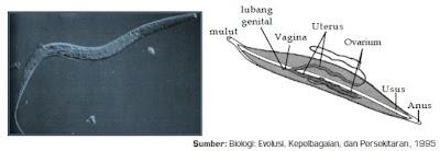 Ciri Struktur Tubuh, Sistem Reproduksi dan Contoh Spesies Cacing dari  Filum Nematoda