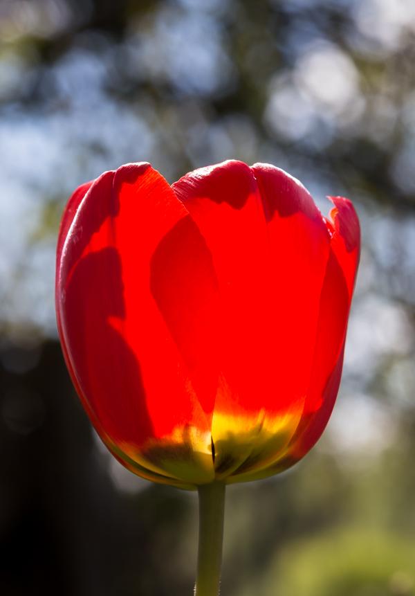 punainen tulppaani puutarha puutarhakukka kevät kevätkukka
