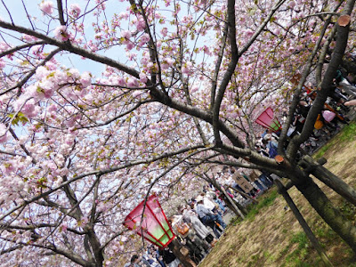 大阪造幣局 桜の通り抜け 林一号