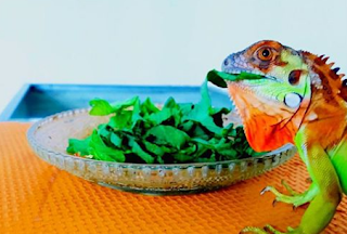 tentang iguana