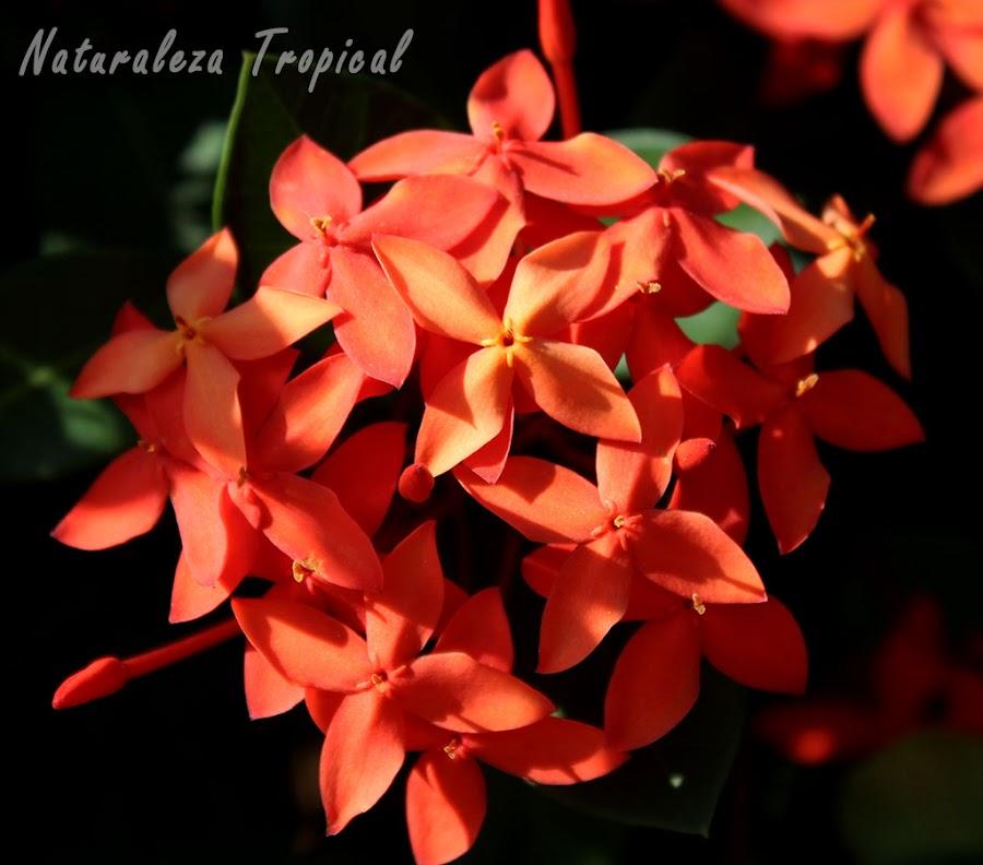 Floración del Geranio de la Jungla, Ixora coccinea