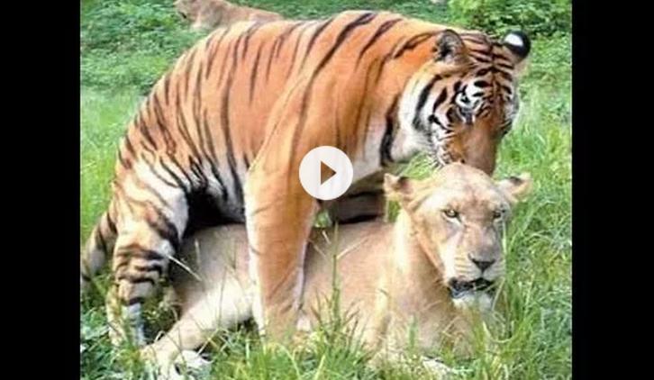 Lion Vs Tiger,Crocodile,Giraffe fight to death ~ You Soft