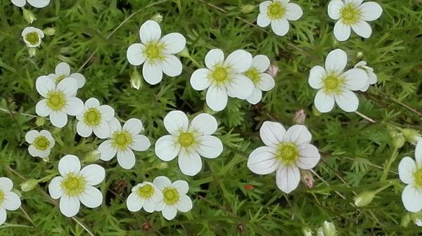 patjarikko valkoiset kukat maanpeitekasvi