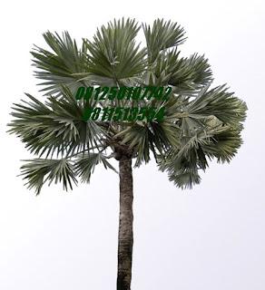 Palm Bismarkia | Jasa Tukang Taman Surabaya