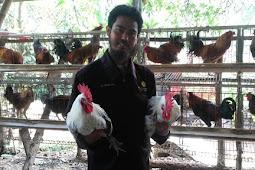 pertimbangan Beternak Ayam Kampung