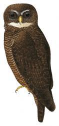 Ninox malaitae