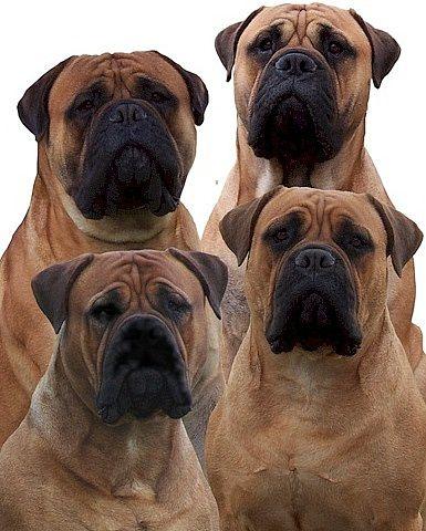 dogue world: Bullmastiff