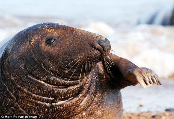 """Chú hải cẩu """"độc thân vui tính"""" lăn lộn cười hả hê trên bãi biển"""