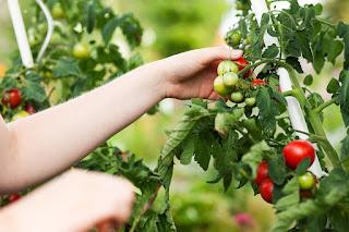 помидоры томат уход кусты